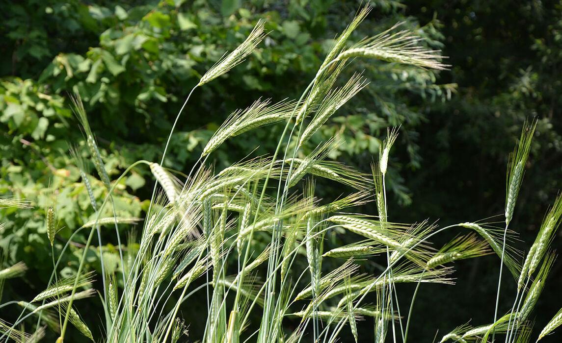 Aus Feld und Garten - Was aßen die Bajuwaren